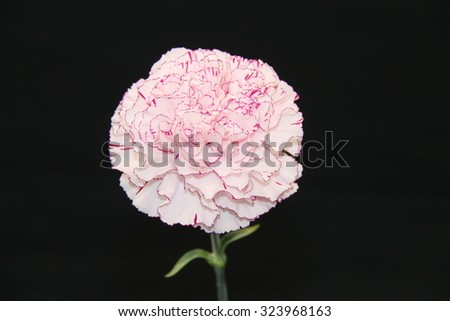 An Individual Flower Bloom of a Carnation Plant. - stock photo