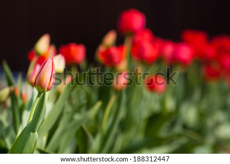 An individual unopened red tulip in a tulip field. Selective focus with focus on an individual long stemmed tulip - stock photo