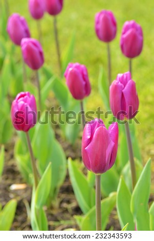 An individual unopened violet tulip in a tulip field. Selective focus with focus on an individual long stemmed tulip  - stock photo