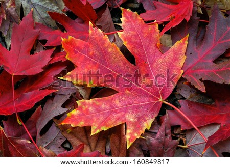 An intensely colorful autumn maple leaf lies on the fall forest floor. - stock photo