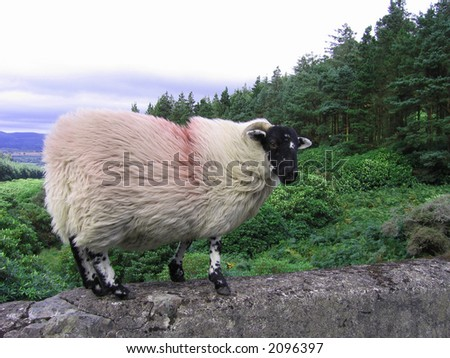 An Irish mountain ram standing on top a stone bridge on the way up to The Vee.  Valley in the background with an intensely overcast sky above. - stock photo