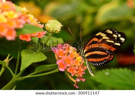 An Isabella Tiger Longwing butterfly lands at the butterfly gardens nectar table. - stock photo