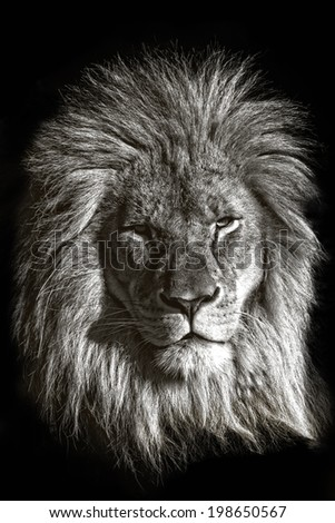 An isolated male lion against a black background - stock photo