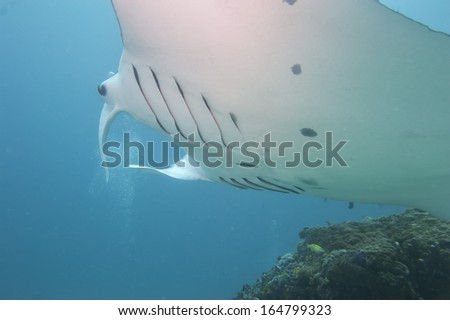 An isolated Manta coming to you in the blue background - stock photo