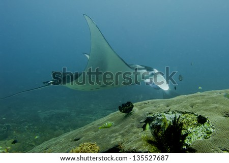An isolated Manta in the blue background - stock photo