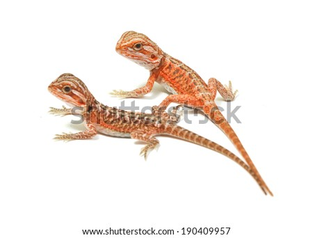 an isolated portrait of a bearded dragon - stock photo