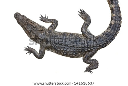 An isolation of fresh water crocodile reptile wildlife animal in upper view in isolated background - stock photo