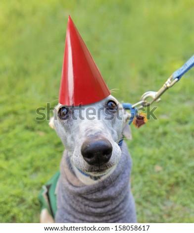 an italian greyhound with a birthday hat on - stock photo