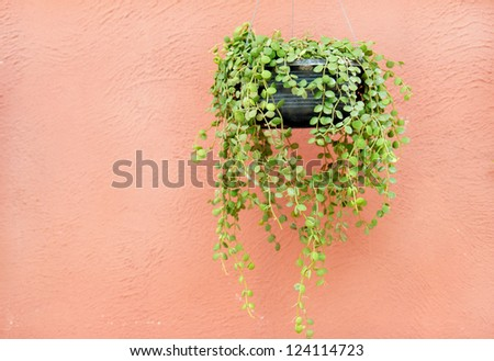 An Ivy on the wall - stock photo