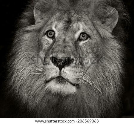 An male Africa lion portrait on a black background head only in monochrome (black and white)  - stock photo