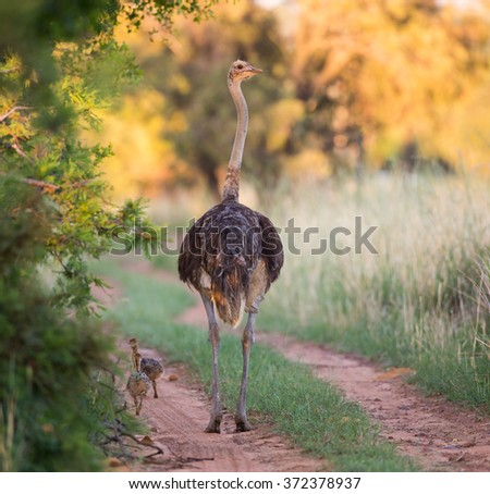 An mother ostrich walking down the road with her chicks following - stock photo