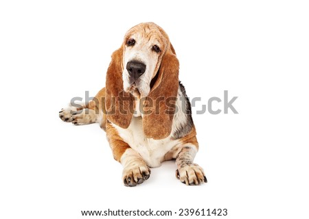 An old Basset Hound dog laying down while looking into the camera - stock photo
