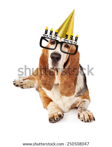An old Basset Hound dog wearing funny party hat and over the hill glasses - stock photo