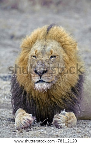An old Battle Scarred Lion rests after a long walk - stock photo