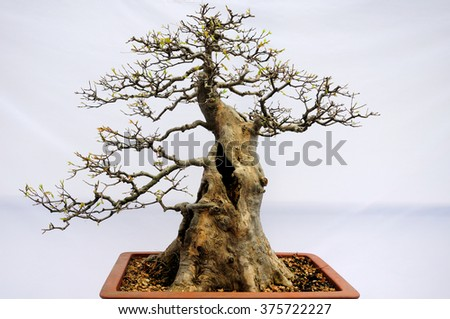 An old bonsai tree in a terra cotta pot against a white background.   - stock photo