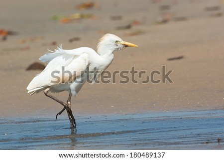 An old Cattle Egret (Bubulcus ibis) walking up the beach on a windy day - stock photo