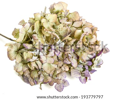 An old dried hydrangea flower with just a hint of color left in it. - stock photo