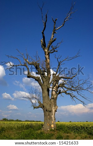 an old dry tree against the blue sky - stock photo