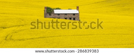 An old farmhouse sits surrounded by yellow canola flowers in a large meadow, Herefordshire, UK. Trails of tractors can be seen. - stock photo