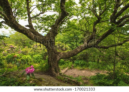 An old, gnarly beech tree along the trail at Craggy Garden Overlook off the Blue Ridge Parkway in North Carolina. - stock photo