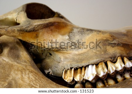 An old skull of a cow, coloured by age and who-knows-what else. - stock photo