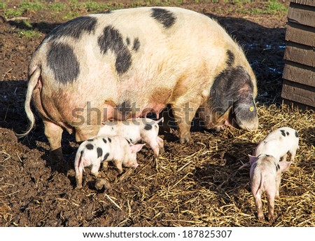 An Old Spot sow feeding her young - stock photo