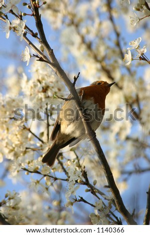 An Old World Robin, perched amongst fresh blossoms. - stock photo