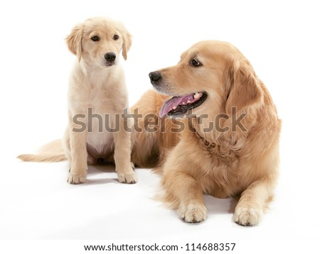 An older and younger Golden Retriever sitting on the floor - stock photo