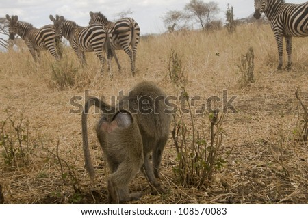 An olive baboon catches the attention of a herd of zebras in Lake Manyara National Park, Tanzania. - stock photo
