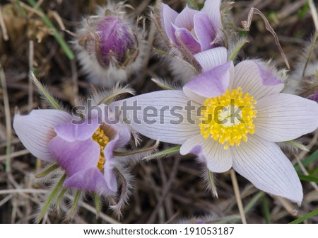An open crocus bloom in the spring - stock photo