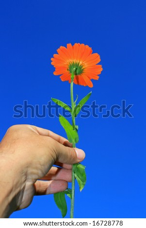 An orange flower (canendula) beinh held in the hand set against a bright blue and clear background. - stock photo