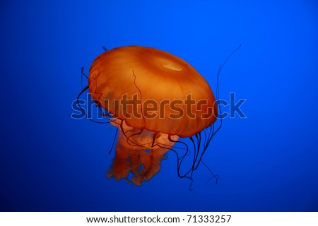 An orange jellyfish against a blue background - stock photo