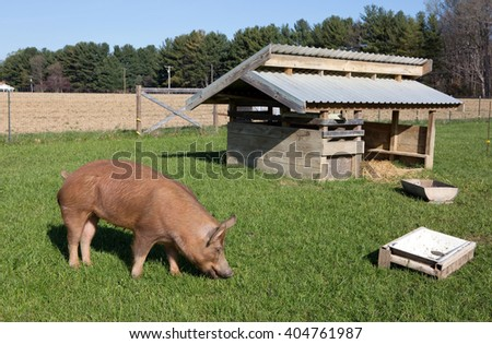 An organically raised free range Tamworth pig grazes on grass on a small farm in Maryland. - stock photo