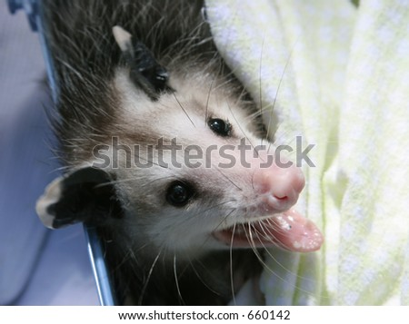 An orphaned baby opossum, recovering at a wildlife rescue center. - stock photo