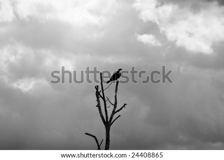 an osprey silhouetted against a cloudy sky - stock photo