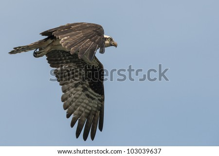An osprey soaring across a bright blue sky - stock photo