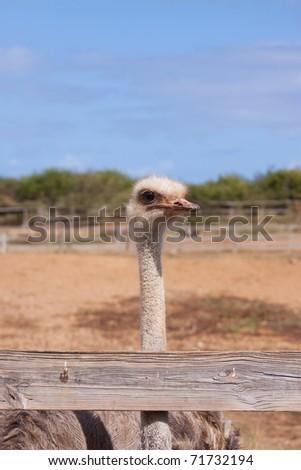 An ostrich on a farm in Curacao. - stock photo