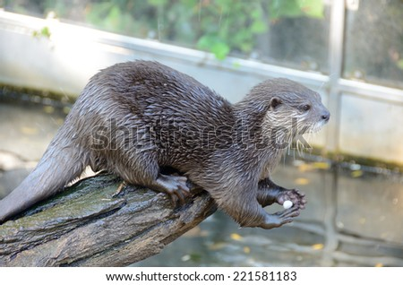 An otter sitting on a log of wood playing with a pebble - stock photo