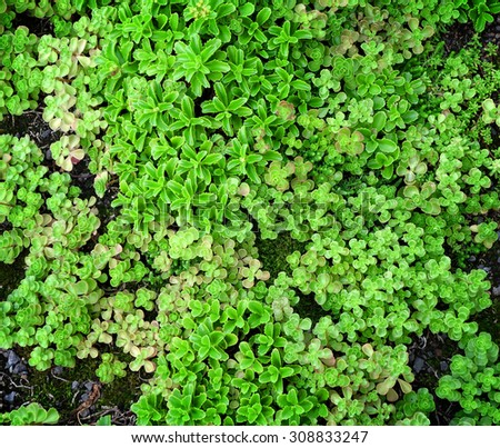 An overview of green, succulent ground cover. - stock photo
