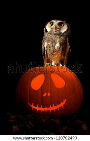 An owl on a halloween pumpkin - stock photo