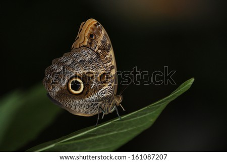 An Owl's Eye Butterfly Perched on a Green Leaf. - stock photo