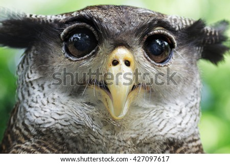 an Owl staring with wide eyes - stock photo