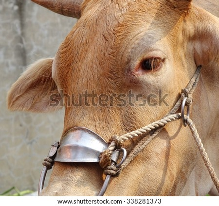 An ox wears a harness designed to pull a cart - stock photo