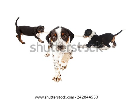 An puppy with an injured paw with two puppies playing with a bandage in the background - stock photo