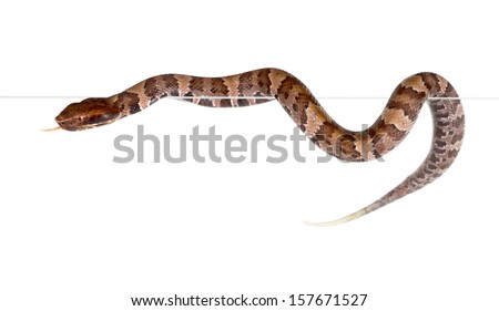 An snake American Copperhead (Agkistrodon contortrix) crawling on the edge - stock photo