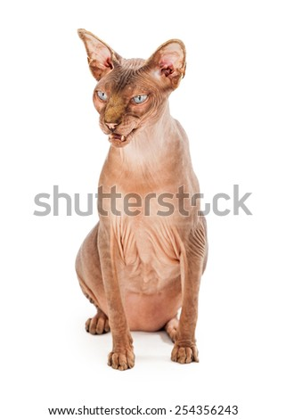 An upset adult hairless Sphynx breed cat sitting looking to the side with mouth open while hissing - stock photo