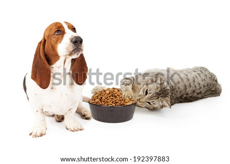 An upset Basset Hound dog sitting next to a playful cat that is stealing his food - stock photo