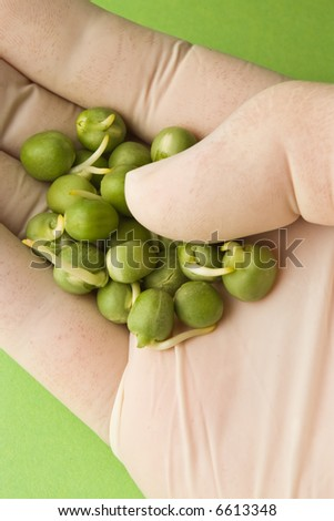 analyzing peas in hand with white gloves - stock photo