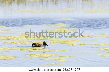anas clypeata, shoveler, swimming Delta wetlands Llobregat - stock photo