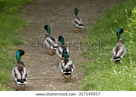Anas platyrhynchos or wild ducks on a path - stock photo